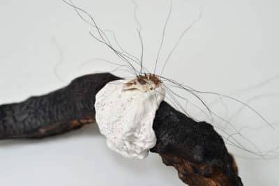 Bois calciné, pâte à modeler, coquillage, crin de cheval © Laurence Nicola